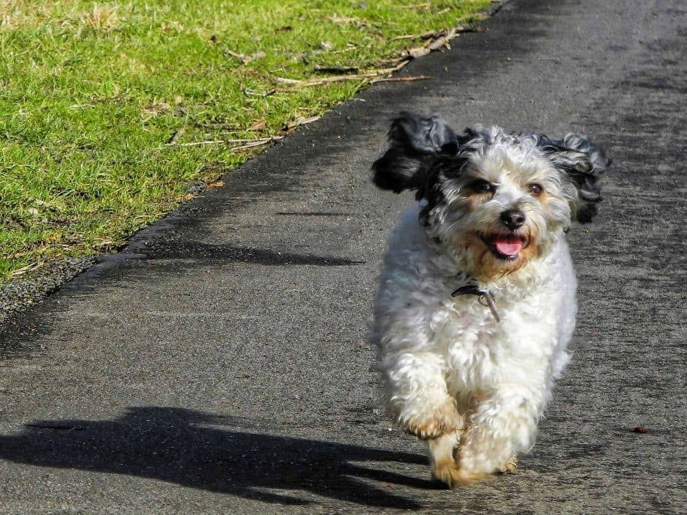 Malteser Hund Mischling In 2020 Hunde Mischlinge Malteser Hund