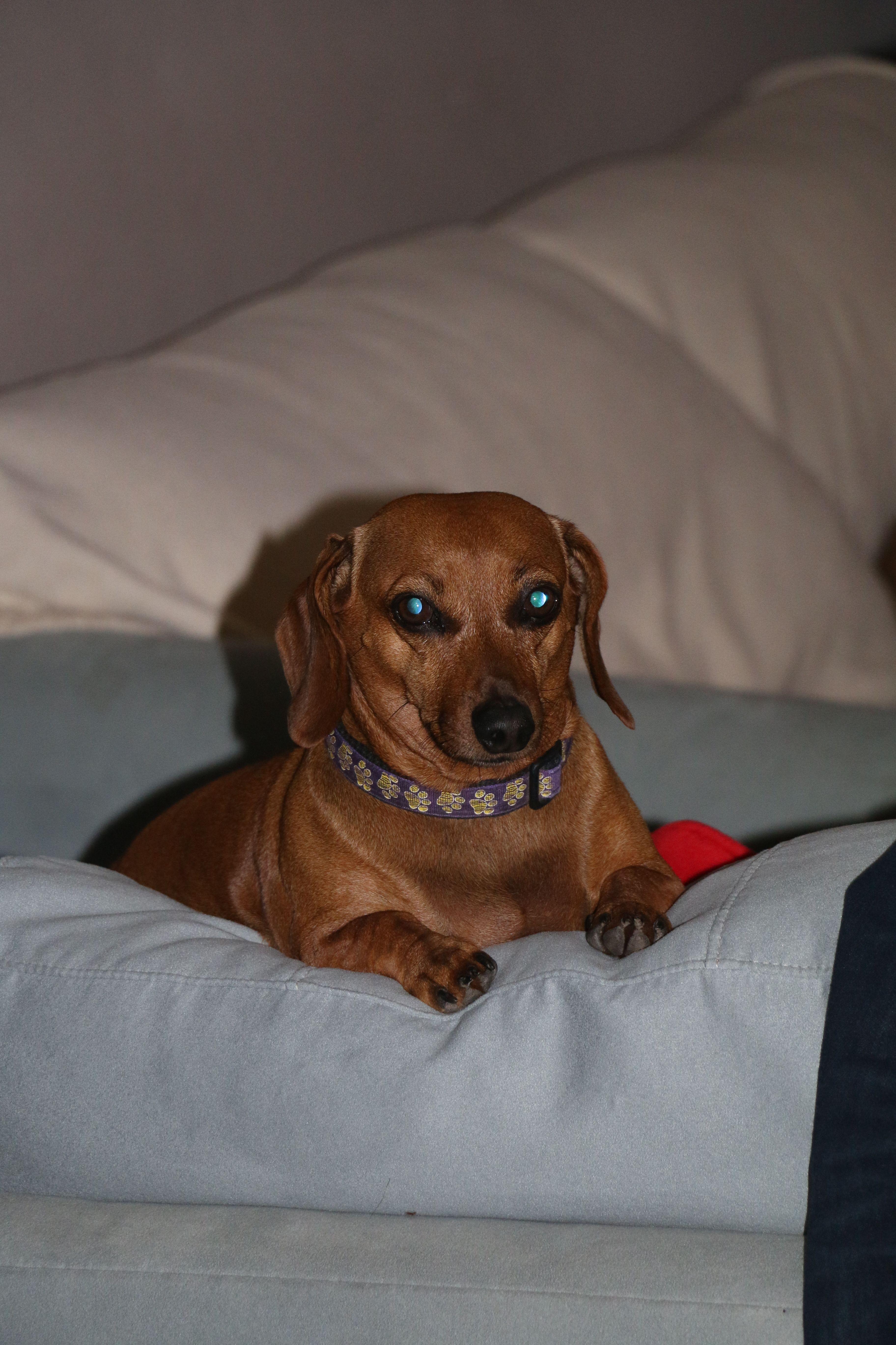 Pin By Emily Schneider On Doxie Love Dog Love Dachshund Beanie