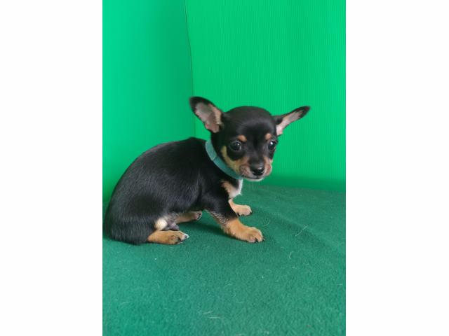 Sweet Mini Chiweenie Puppies for sale (With images