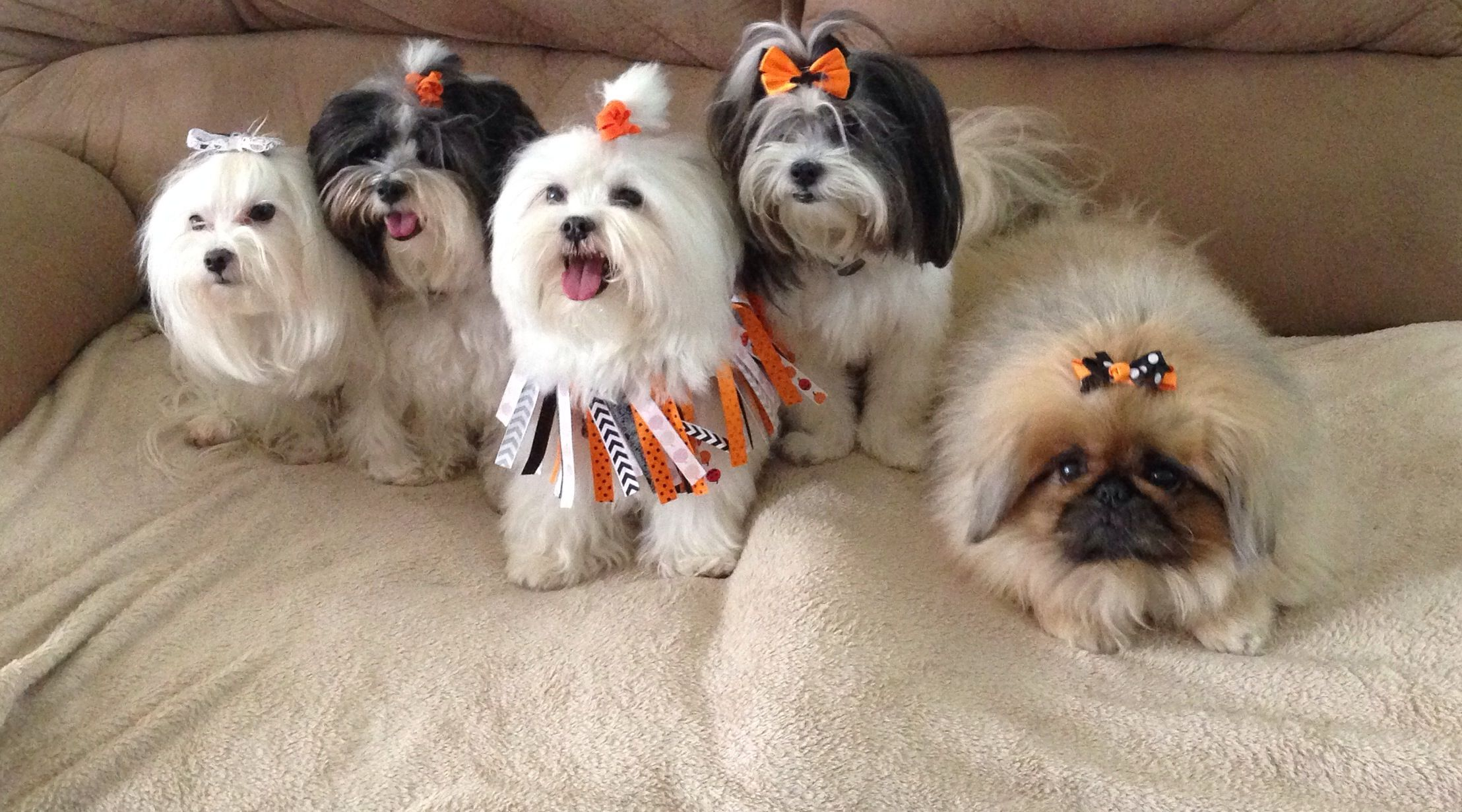 The Fur Babies All Dressed Up For Halloween Shih Tzu Maltese