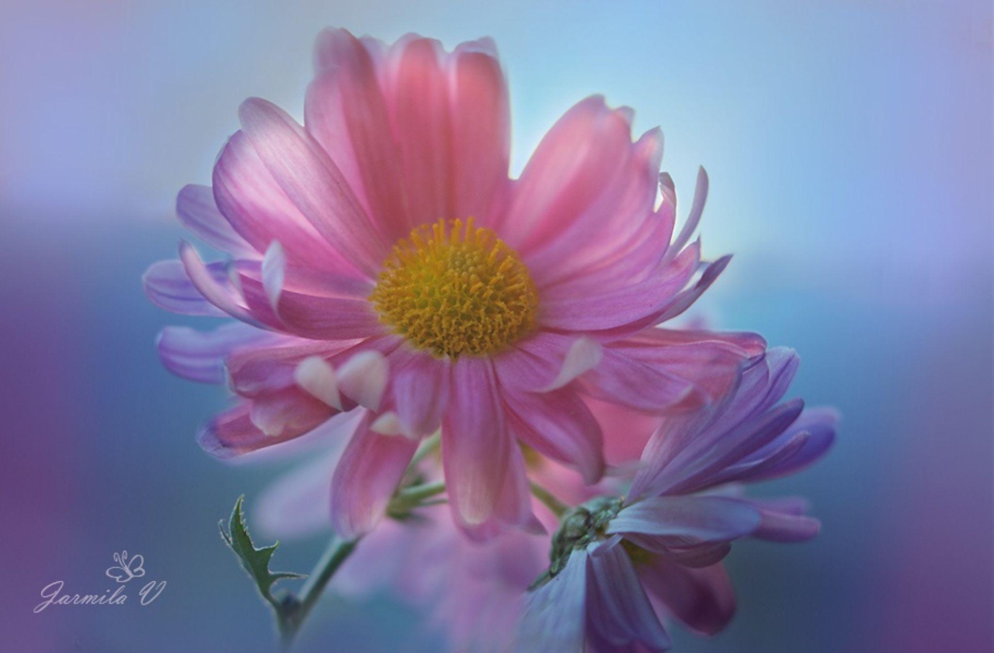 Flower by jarmila vymazalov on 500px flowers pinterest flower beautiful flowers izmirmasajfo