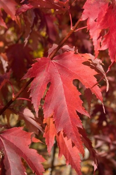 Firefall Maple Maples For Wisconsin And The Midwest Magnolia