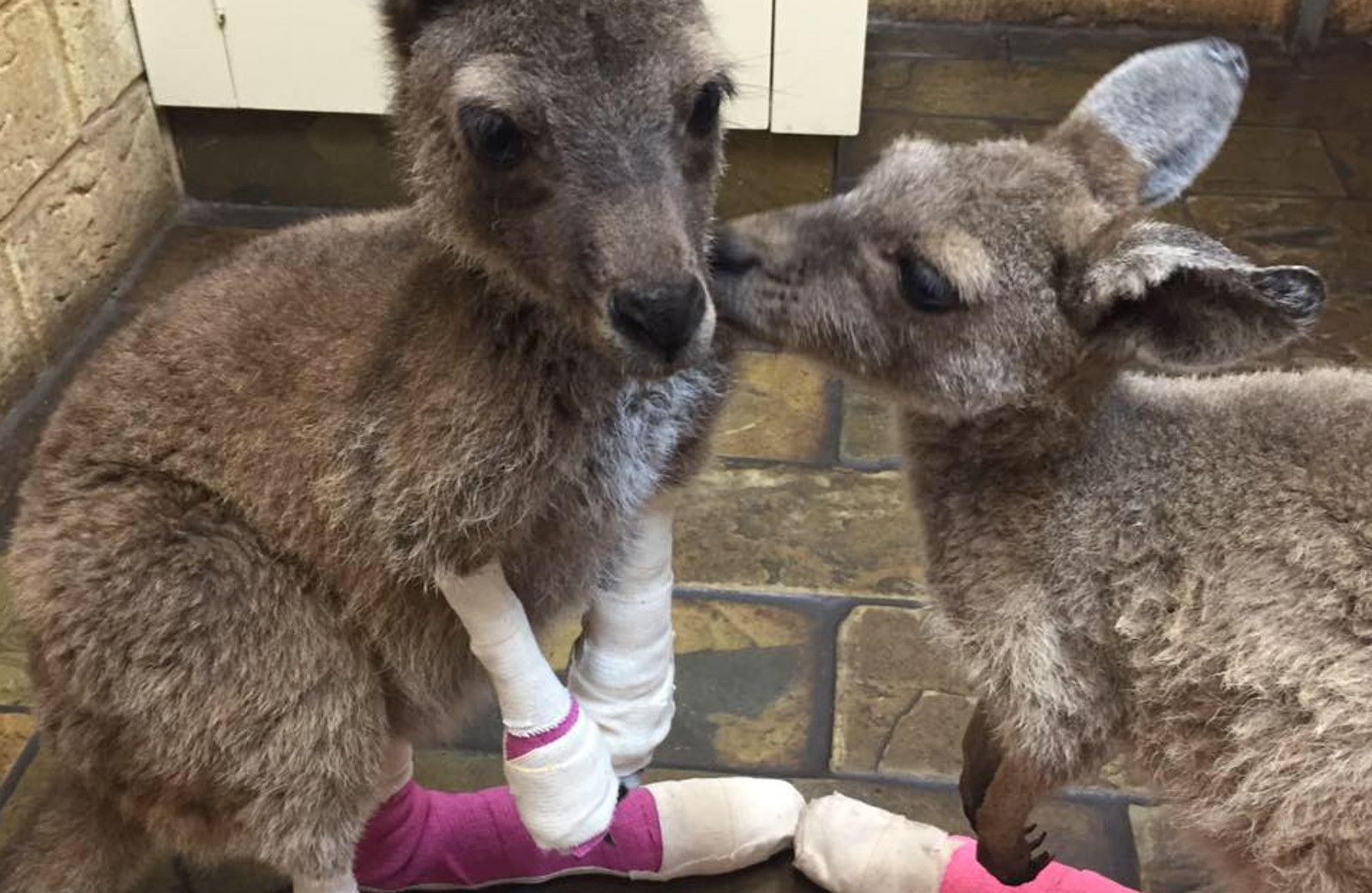 Orphaned Joeys Lost Their Home to Forest Fires, Now They