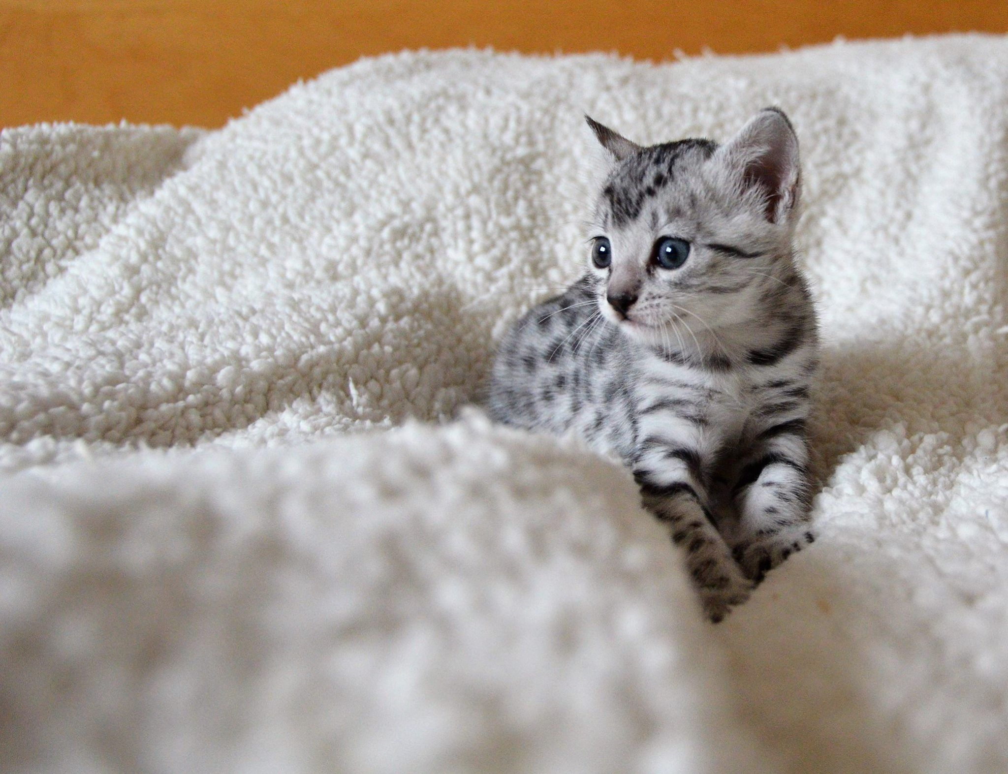 Egyptian Mau Cat Egyptian Mau Egyptian Cats Cute Cats And Dogs
