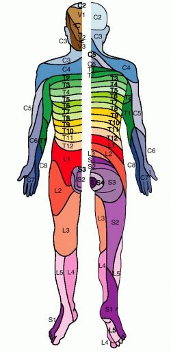 Dermatome Map: Dr. Bertagnoli | PHYSICAL THERAPY | Physical therapy on
