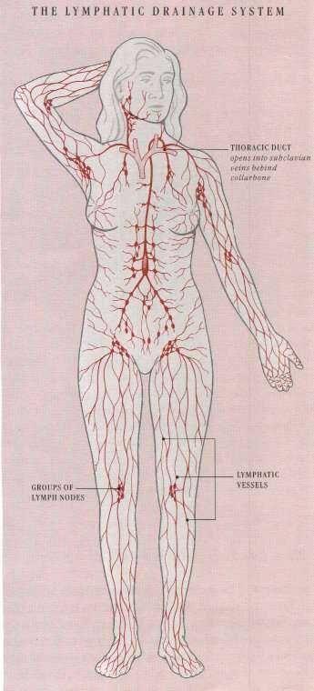 Lymph System Lymphedema Lymphatic Drainage Massage