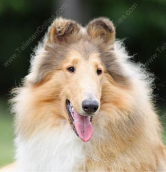 Available Collies Taliesen Gt Gt We Are A Rough Collie