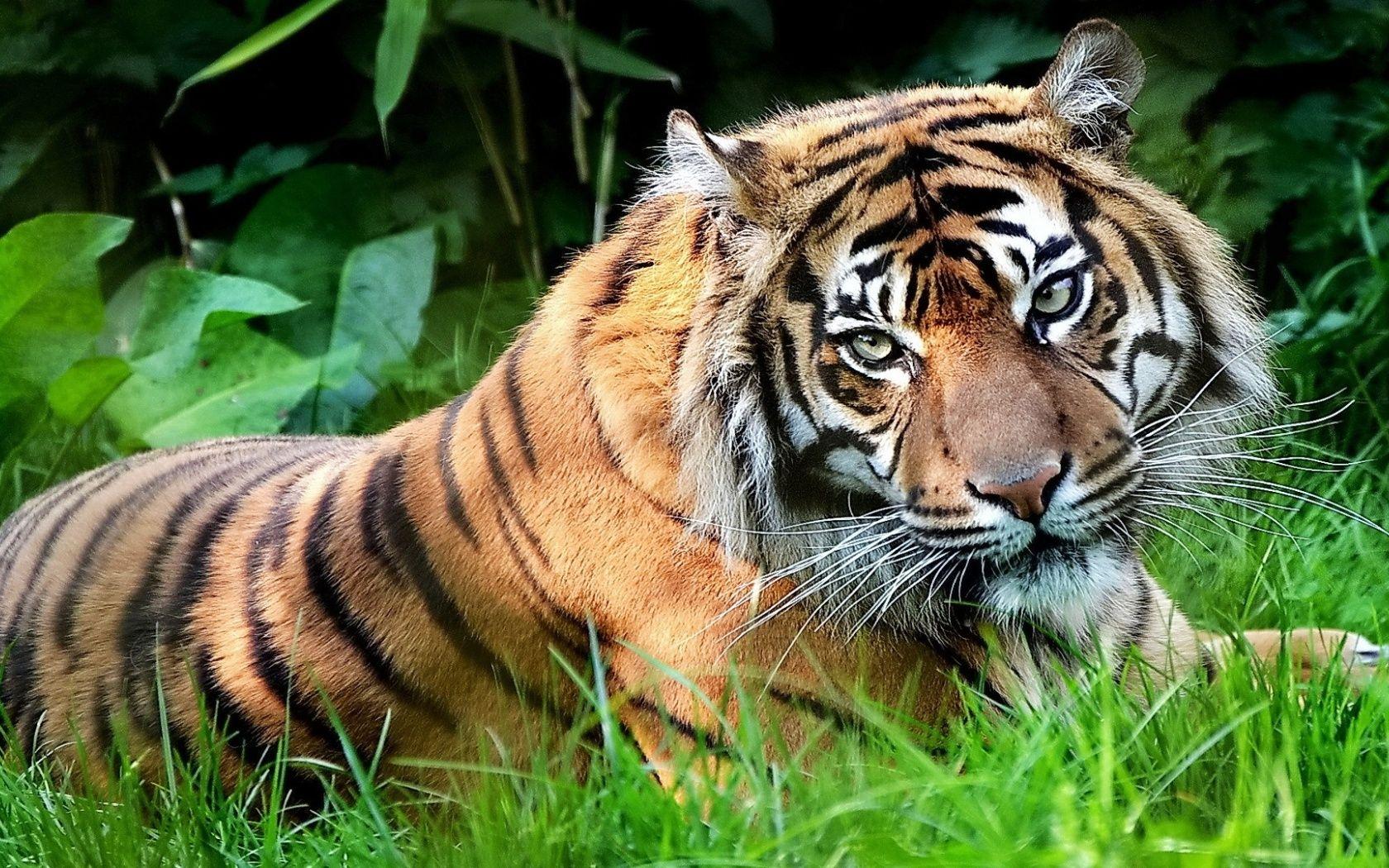Dangerous Download Tiger Hd Wallpaper Tiger Wallpaper Tiger