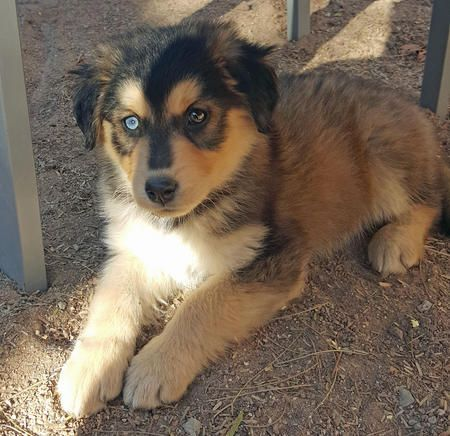 Golden Retriever And Husky Mix Puppies With Images Golden
