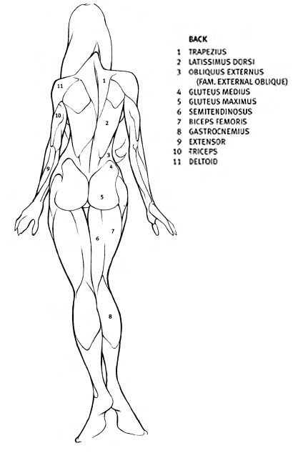 female-back | Evolution | Anatomy drawing, Body drawing, Figure