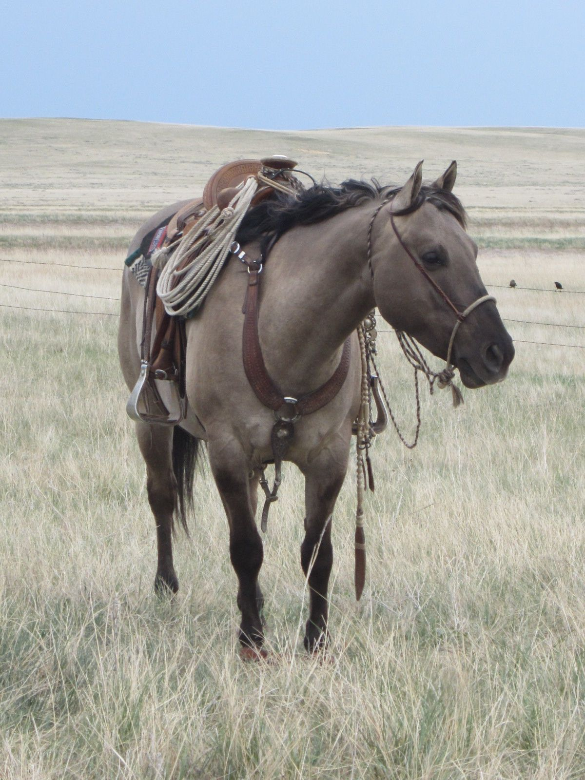 gorgeous grulla cow pony. This is my favorite color even since I read Smokey the Cow Horse as a kid :)