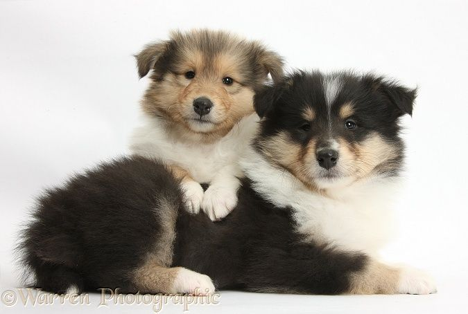 Rough Collie Pups 7 Weeks Old Rough Collie Dogs Puppies Collie