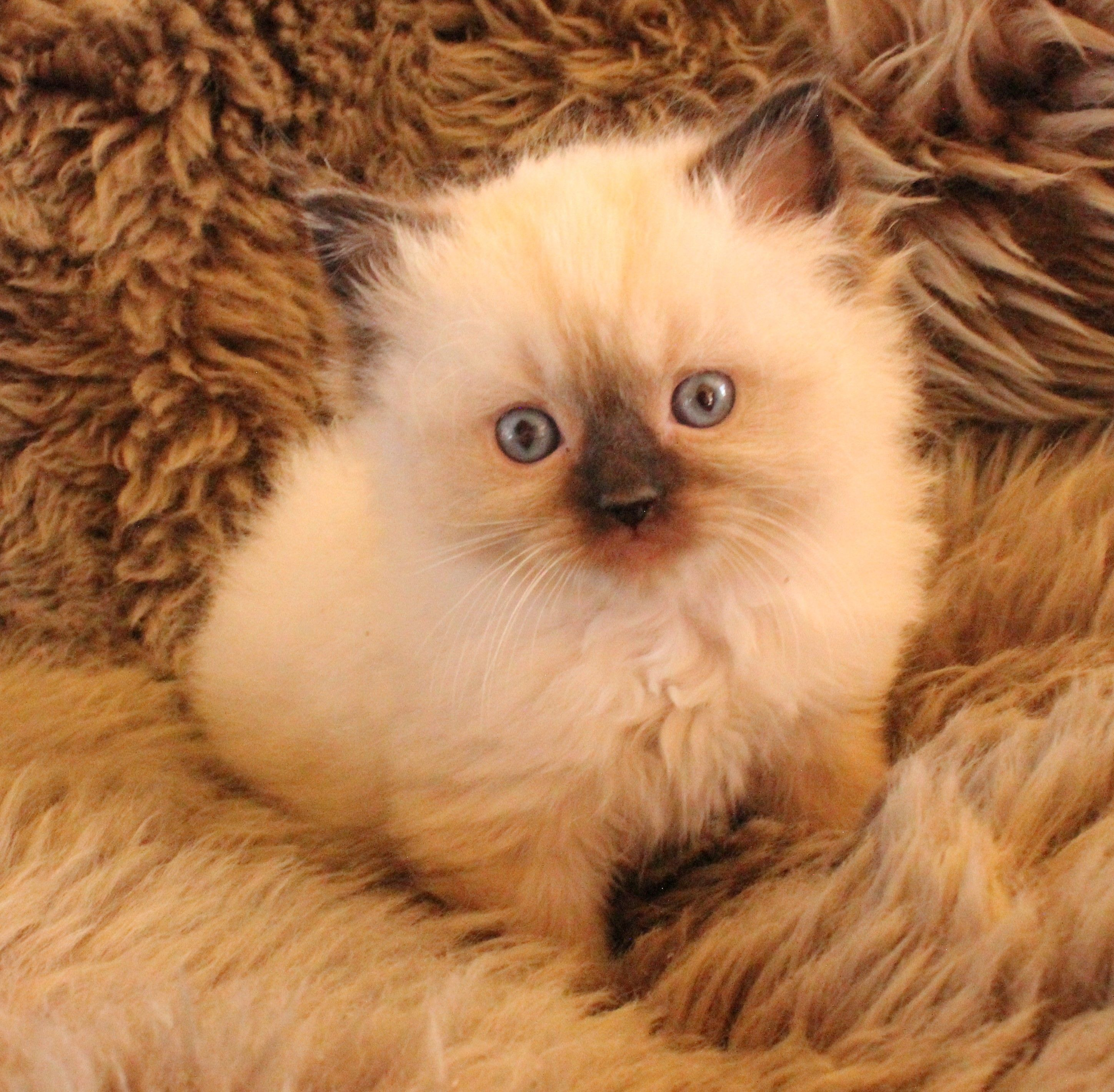 Little Puffs Of Heaven Kittens Available Now
