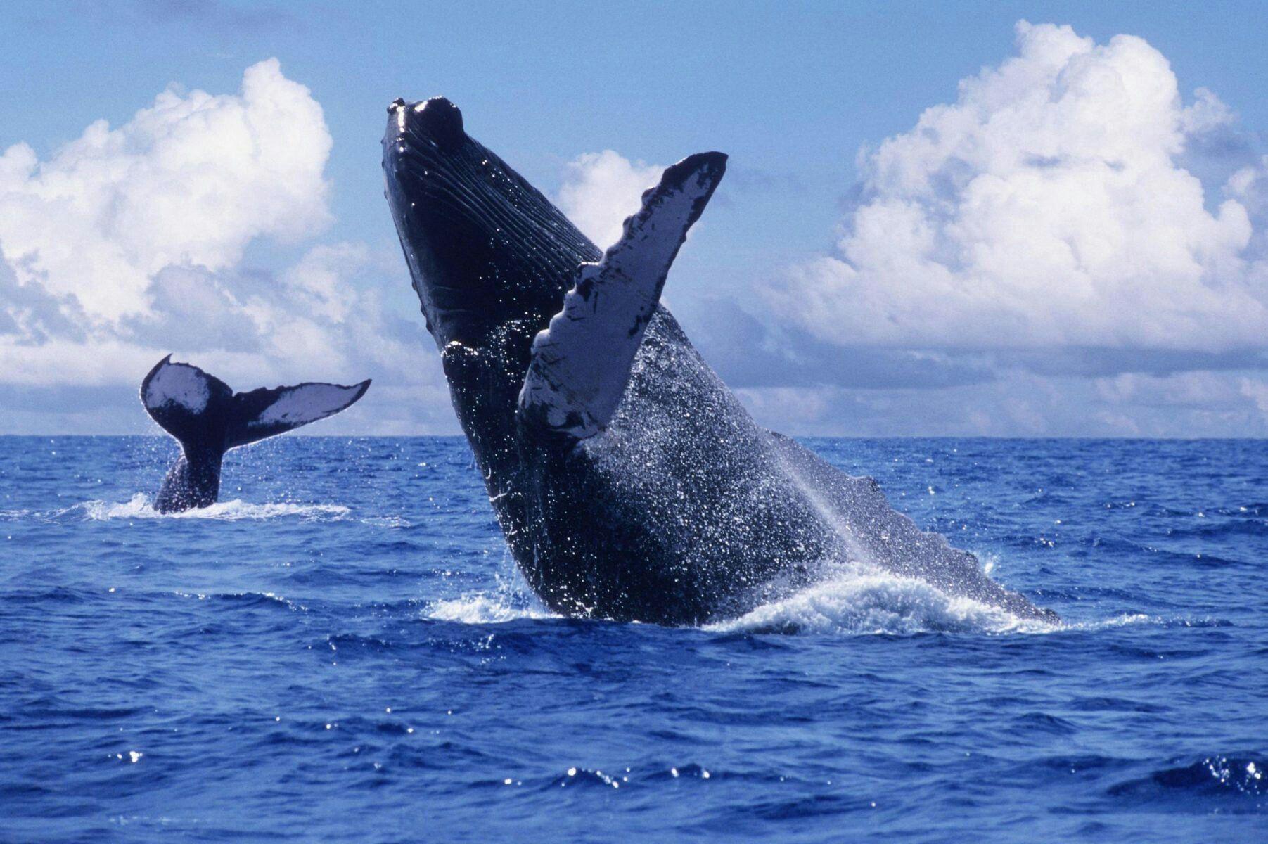 Ballenas Jorobadas En La Bahía De Samaná Bávaro Go Baleia Jubarte Baleias Animais Do Brasil