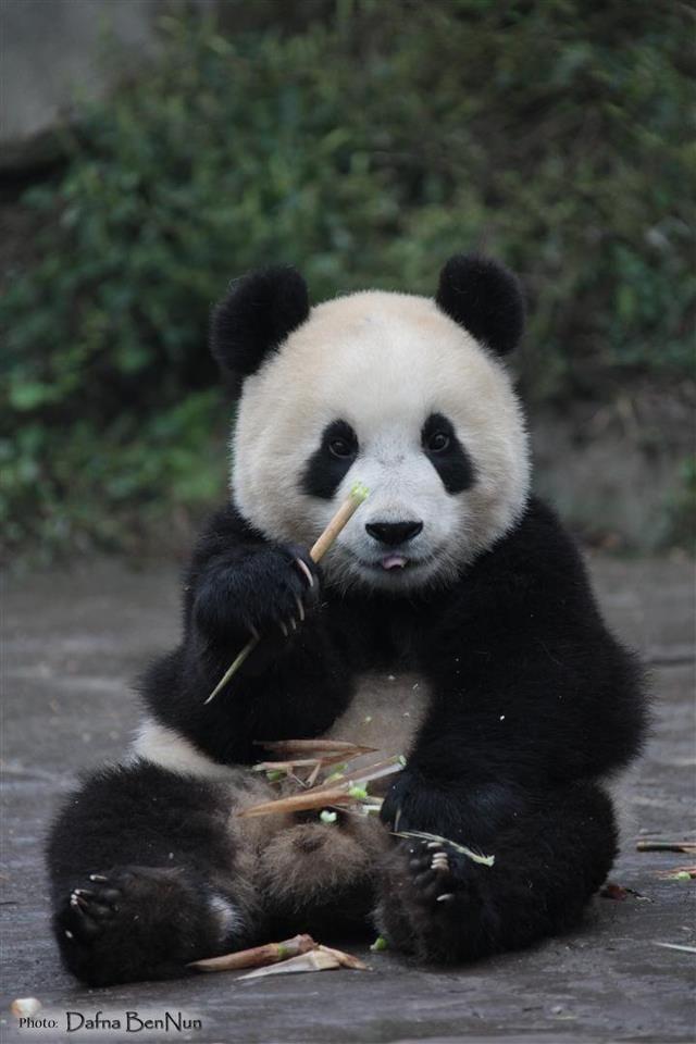 Cute Panda Animal With Images Panda Bear Baby Panda Panda