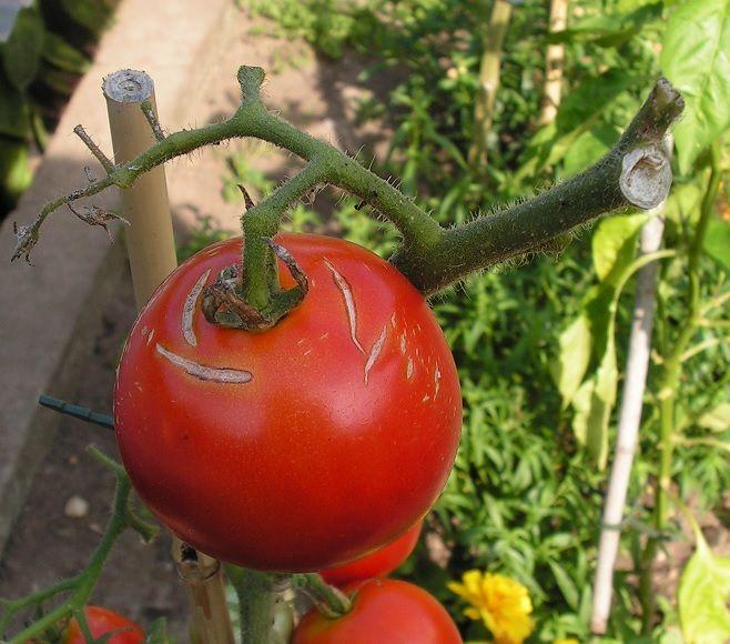 7 Roof Over Sweet Peppers Or Tomatoes С Изображениями 640 x 480