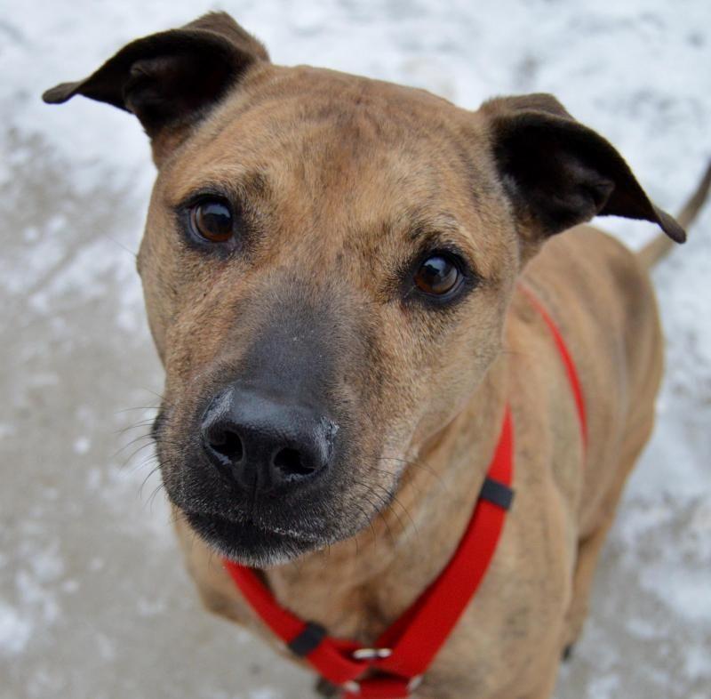 Adopt Nala On Pitbull Terrier Whippet Mix Bull Terrier Dog