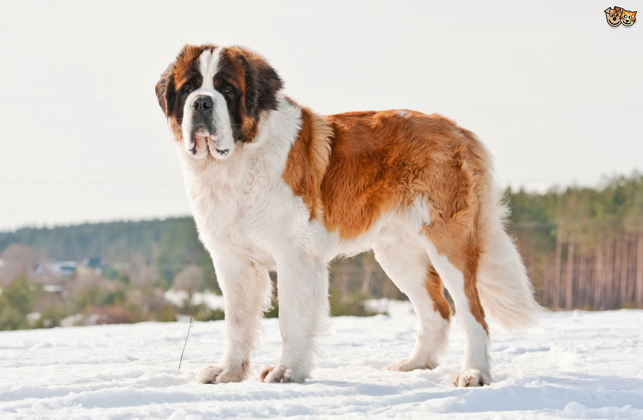 Pin By Betsy On Amazing Dogs 4 St Bernard Dogs Smelly Dog