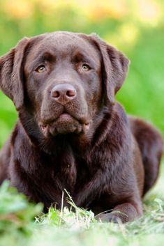 Chocolate Labrador Retriever Puppy Labradorretriever Labrador Retriever Best Dogs For Families Chocolate Labrador Retriever