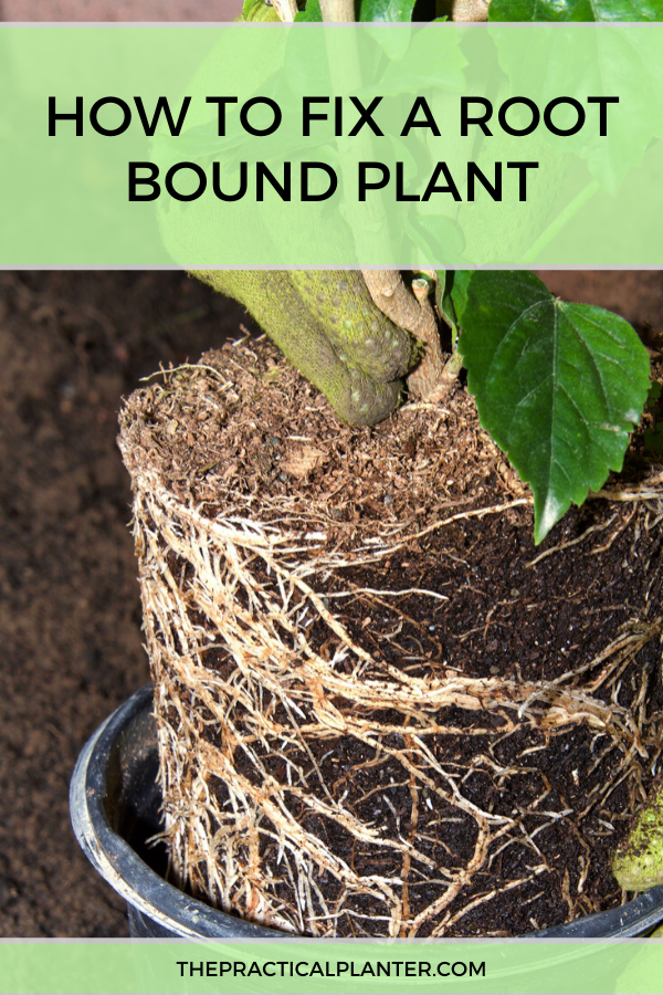 How to Fix a Root Bound Plant (When It's Outgrown Its Container is part of Plants, Wisteria how to grow, Home vegetable garden, Common house plants, Healthy plants, Plant roots - It's easy to spot problems in your houseplants when they are visible in the leaves or flowers  What about potential issues that are going on under the soil, with the roots  Don't forget to take care of your plants even when you can't see what's going on  In particular, we're talking about when a plant