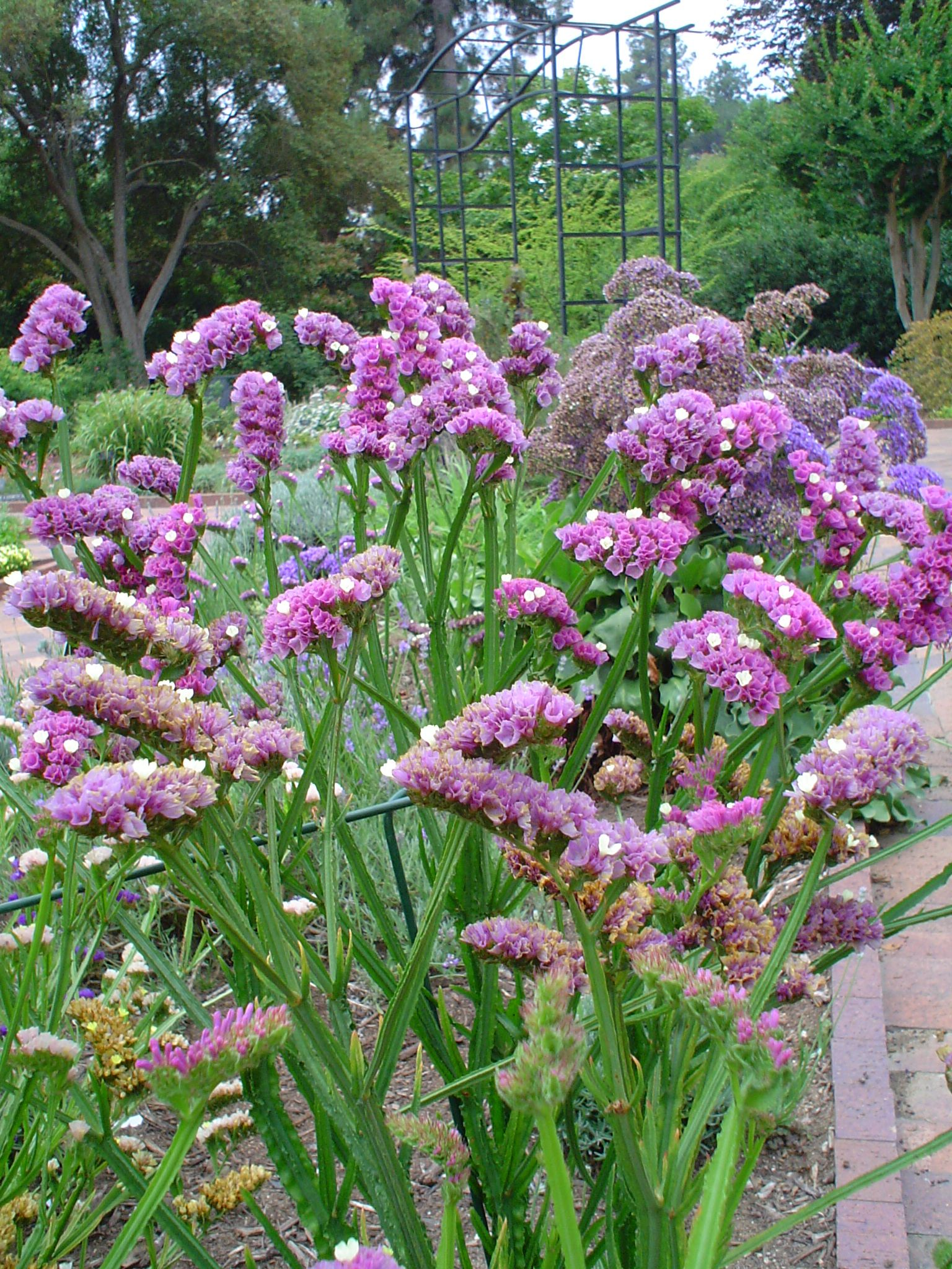 statice plant Google Search Pink garden, Perennial