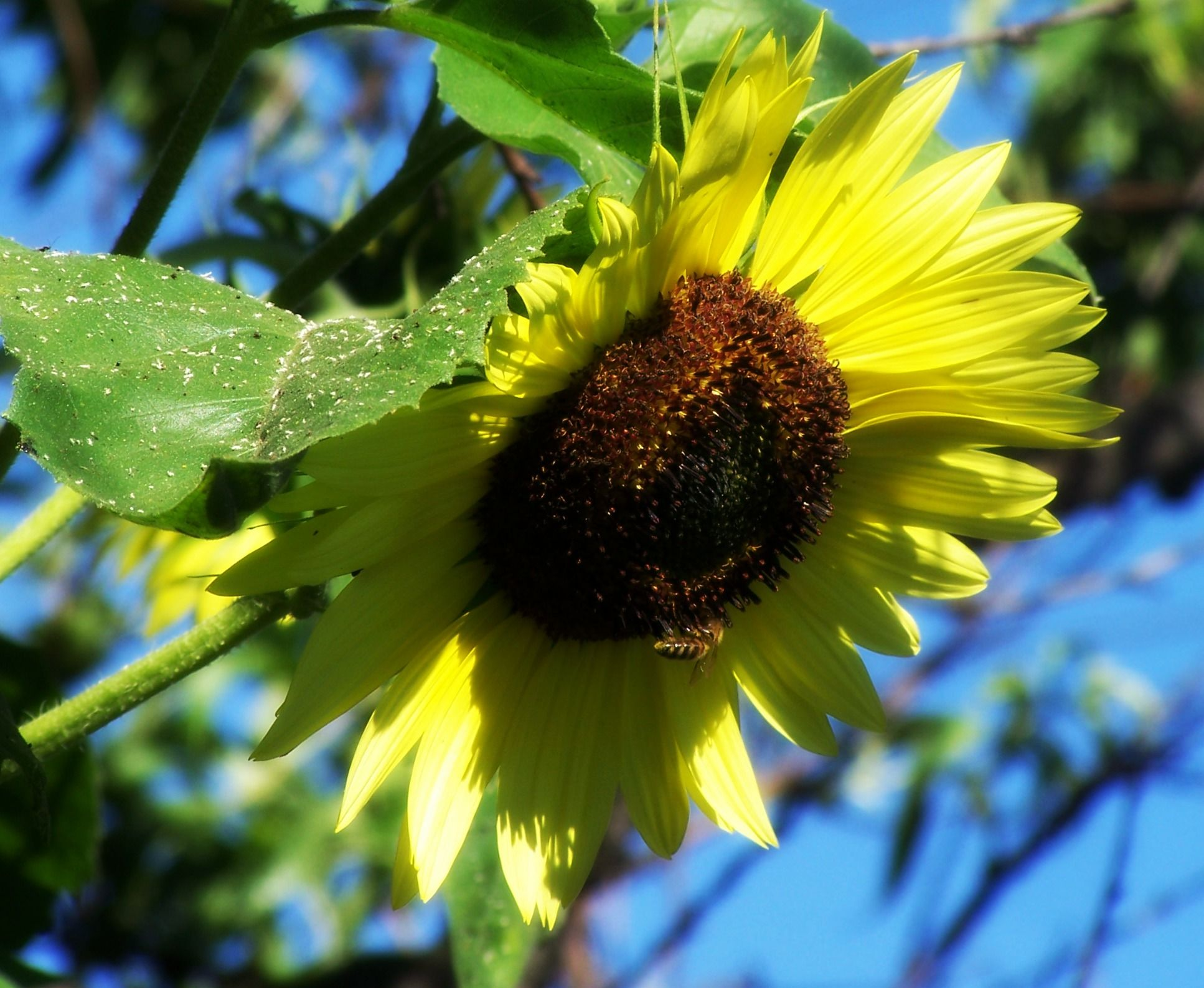 Deva Sunflower Remedy Is Used For Balancing Self Expression Helps You To Solve Your Parenting The Parent Or Related Image True Nature Flower Essences Deva