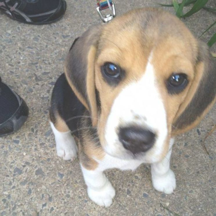 Discover The Loving Beagle Puppies And Kids Beaglesofig