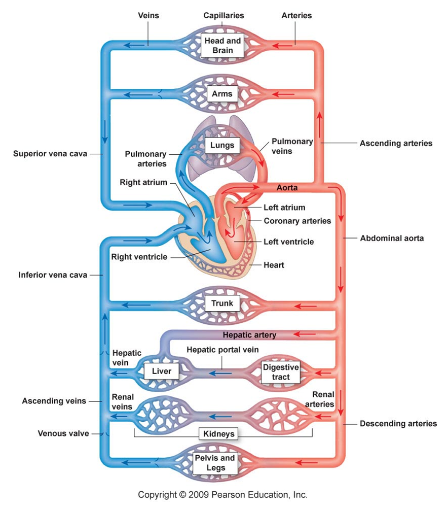 Image for The functions of the human circulatory system ...