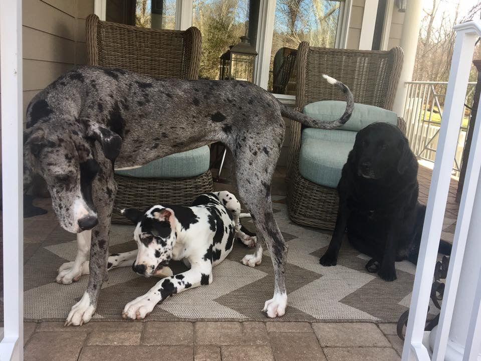 Pin By Ashley Matthews On Great Dane Merle Great Danes Big Dogs