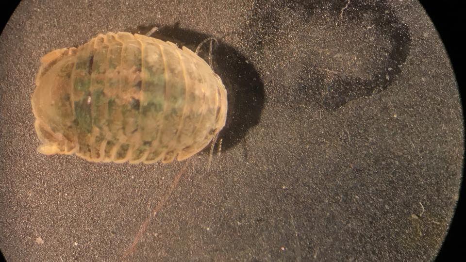 Crustacea  - Classe Malacostraca, Subclasse Eumalacostraca (Ordem Isopoda: Gnorimosphaeroma sp)