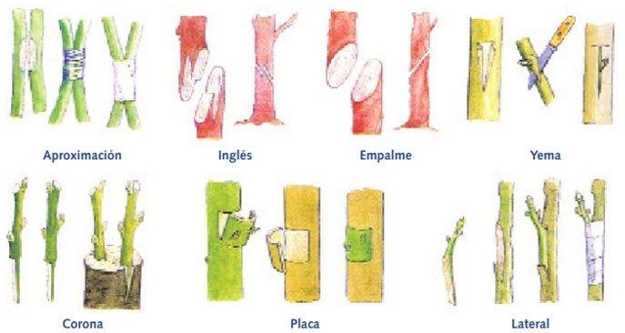 Reproduccion asexual en plantas por injerto de plantas