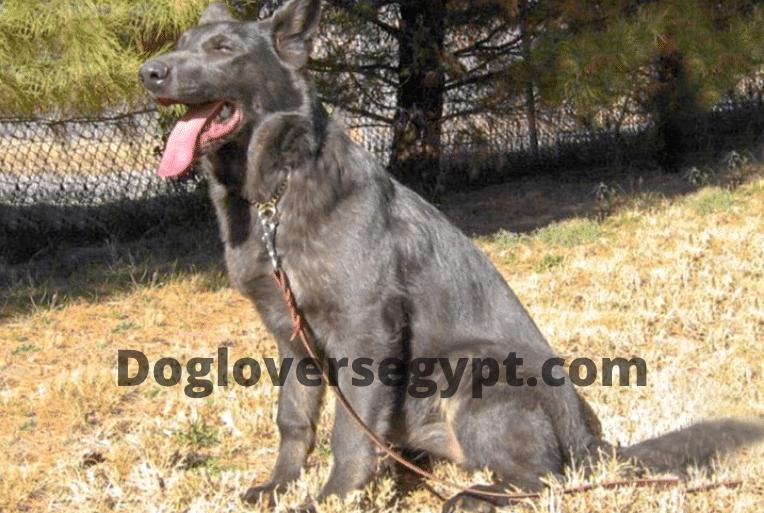 كلب الجيرمن شيبرد الازرق Animals Dogs