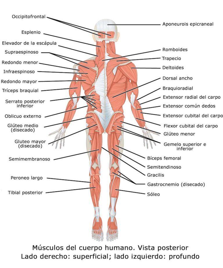 El Cuerpo Humano Y Sus Partes Con Imagenes Para Imprimir Pequeocio Musculos Del Cuerpo Humano Musculos Del Cuerpo Cuerpo Humano