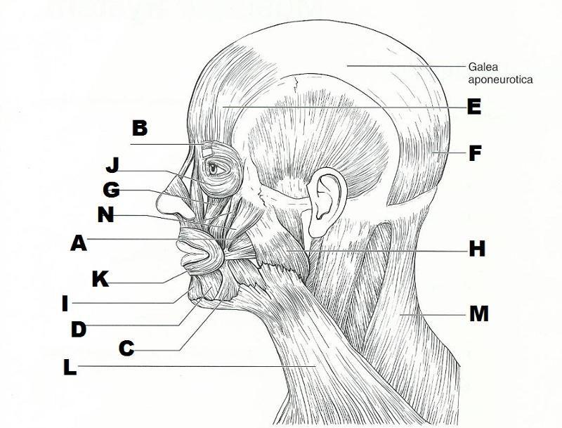 muscle blank drawing   Anatomia corpo humano, Anatomia do ...