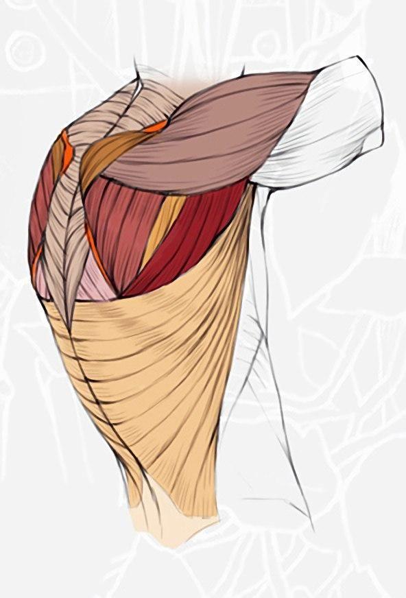 Диалоги   anatomía torso   Pinterest   Anatomía, Anatomía humana y ...