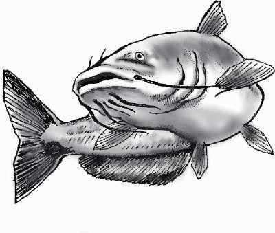 catfish drawing my chalkboard pinterest catfish tattoo and fish