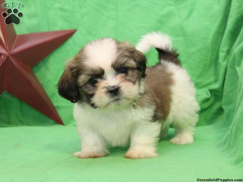 Park Art My WordPress Blog_Shih Tzu Puppies For Sale In New Jersey