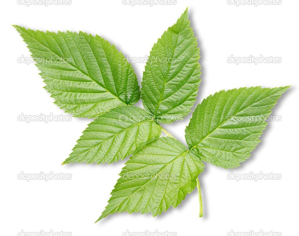 depositphotos_16347241-stock-photo-raspberry-leaves-isolated.jpg (1023×808)