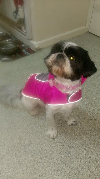 Female Shih Tzu Shih Tzu Shih Tzu For Sale Pets