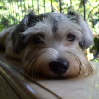 Pin By Brittany On What Life Is Schnauzer Mix Schnauzer Sweet Dogs