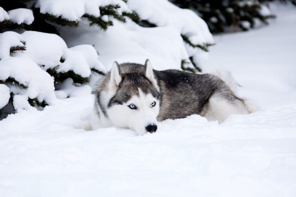 So You Want To Own A Husky Think About These 5 Husky Facts Sibirischer Husky Heiser Schlittenhunde