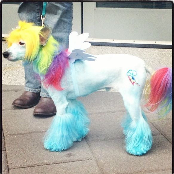 Poodle cosplaying as Rainbow Dash from My Little Pony at ...