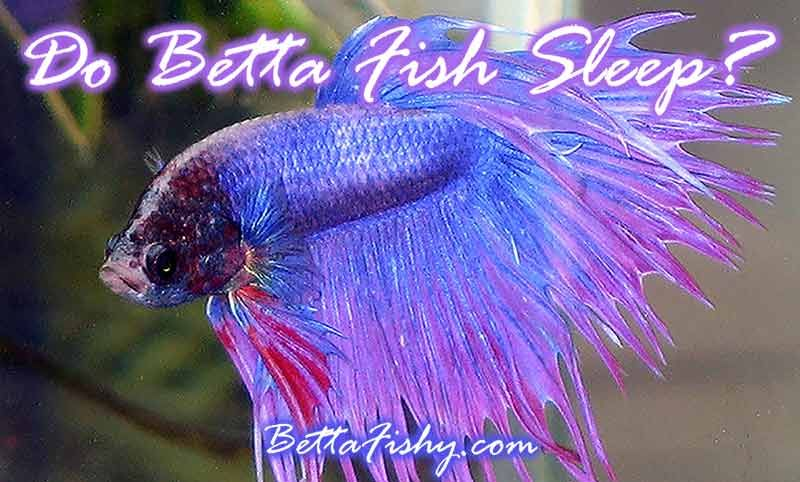 Do betta fish sleep if so how often do betta fish sleep for How often do i feed my betta fish