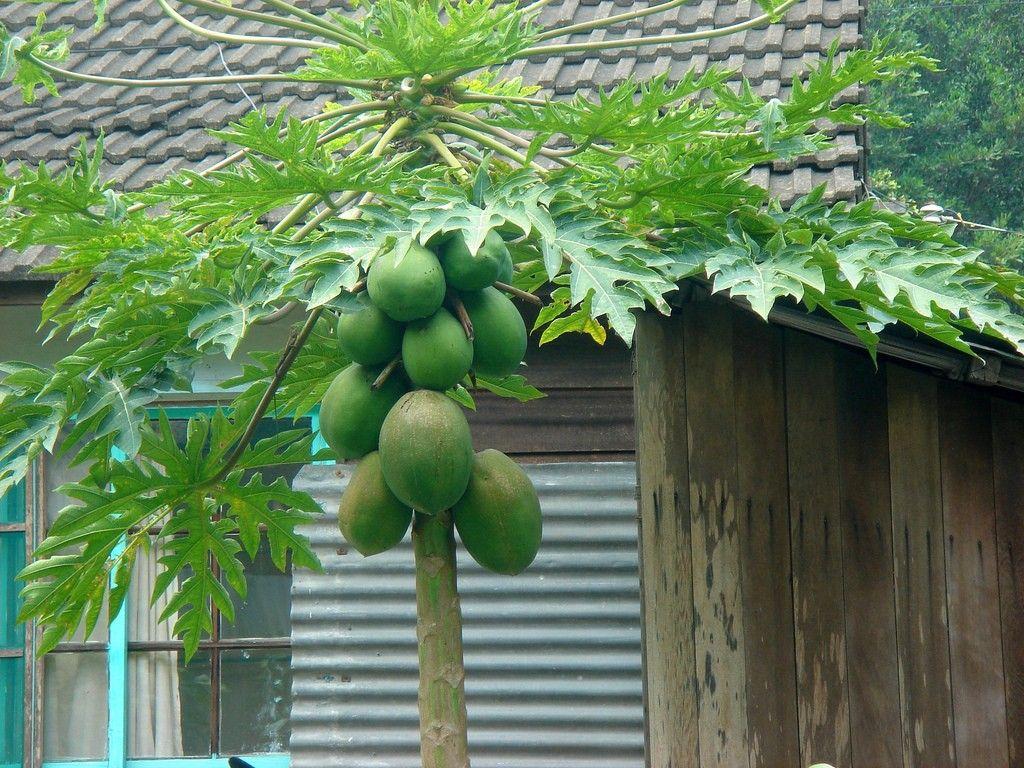 Unisexual flowers papaya benefits