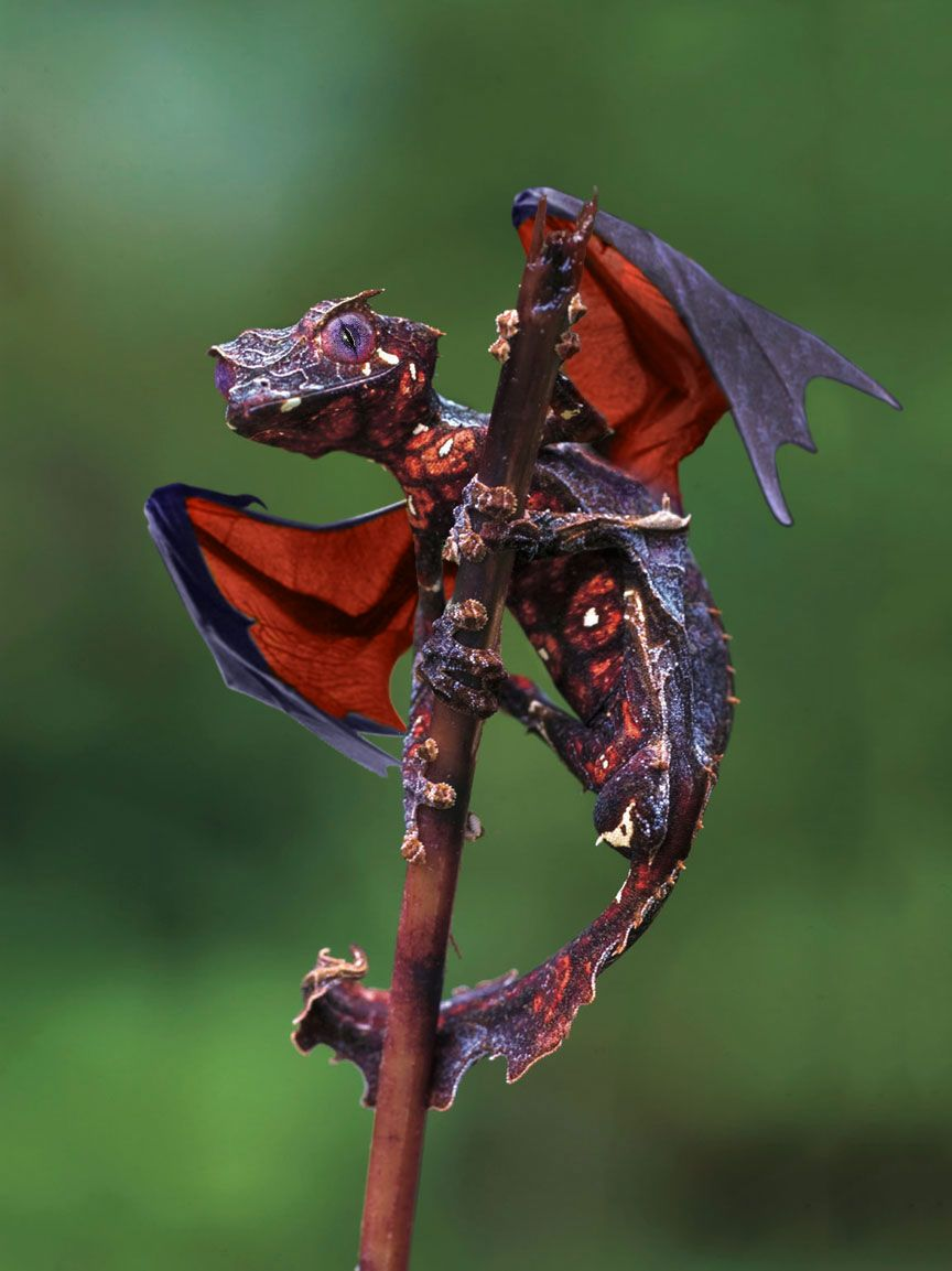 the satanic leaf tailed gecko with flying fox wings photoshop