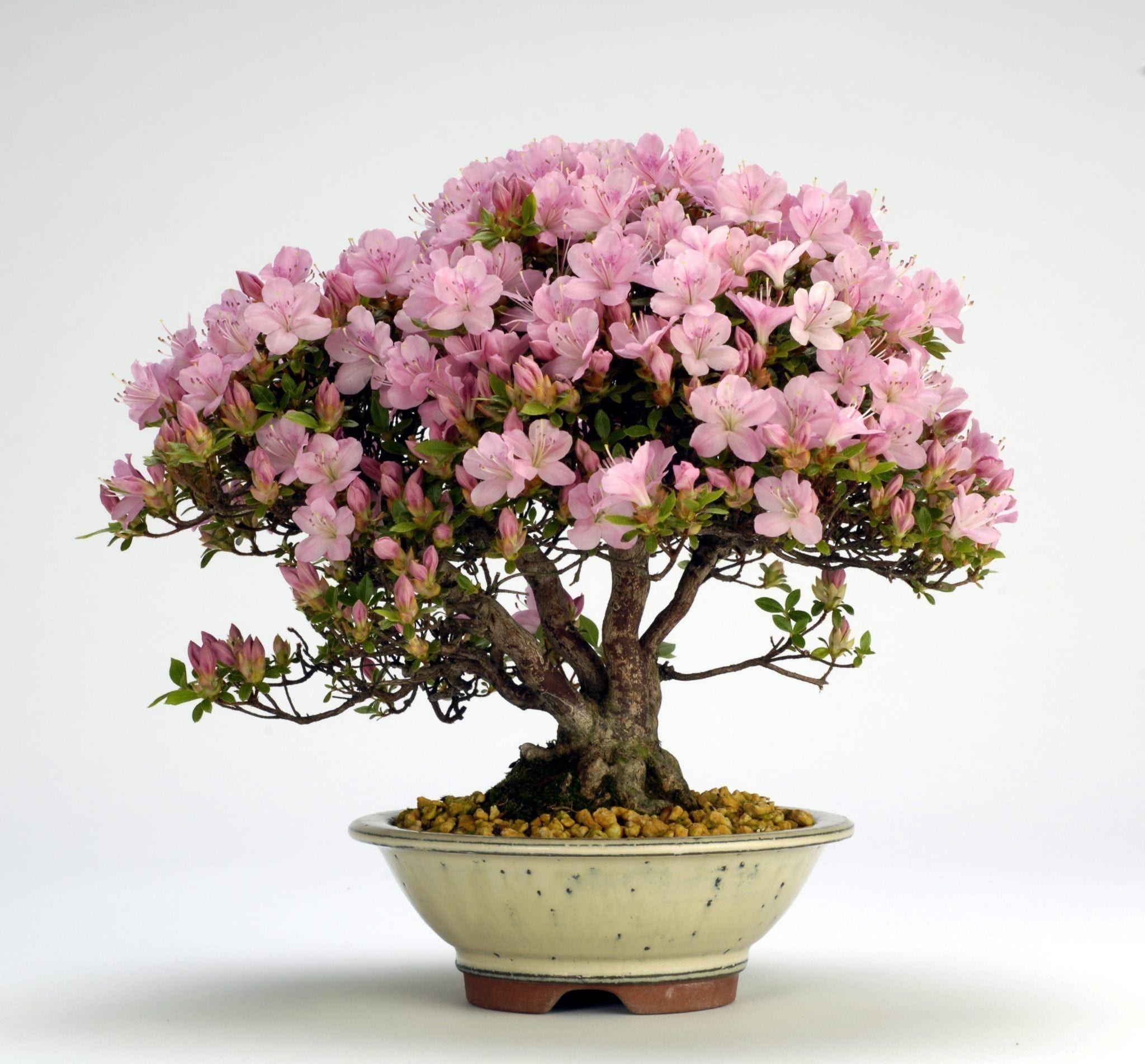 Azalea Bonsai Tree Care Guide (Rhododendron indicum)   Bonsai Tree Gardener