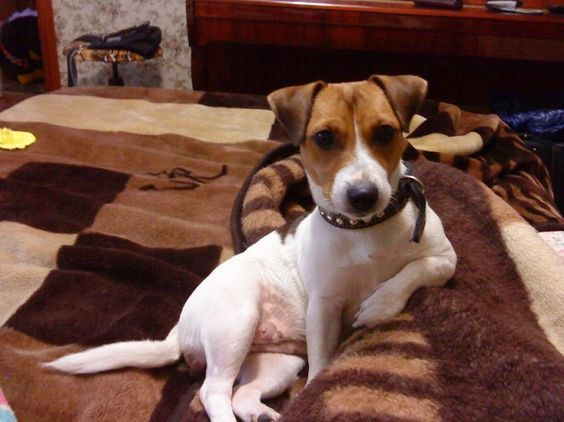15 Signs You Are A Crazy Jack Russell Person Jack Russell Dogs Jack Russell Terrier Jack Russell