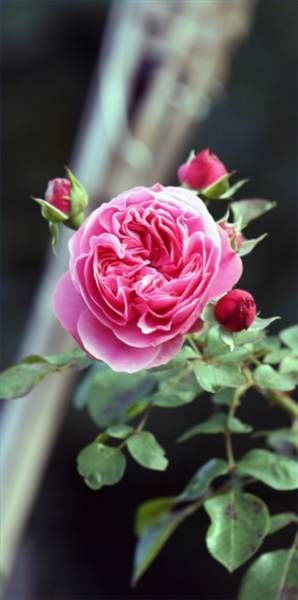 How To Grow Climbing Roses In Pots In The Garden