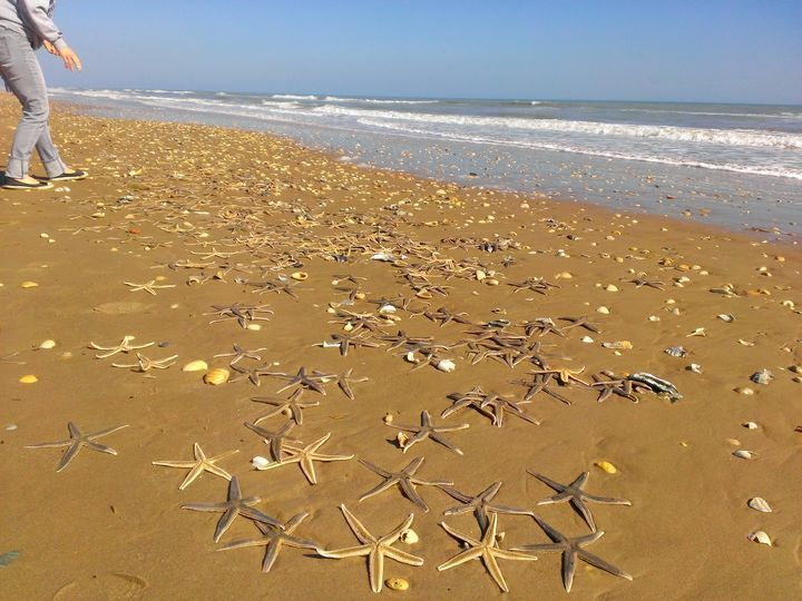 A Massive Starfish Colony Beached On South Padre Island Texas We