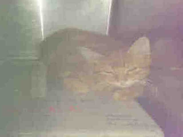 PANSEY - A1090122 - - Brooklyn  ***TO BE DESTROYED 09/25/16*** FIVE MONTH OLD KITTEN PANSEY NEEDS A HERO TONIGHT TO SAVE HIM FROM WHAT THE ACC HAS PLANNED TOMORROW! The ACC has made it extra difficult for this kitten to be adopted. Do they care? No. First the awful name – PANSEY – for a BOY kitten? Next – the AWFUL PHOTO!! Can you even see how adorable this ginger boy is?? No. Thirdly – they gave PANSEY the SHELTER COLD! And now they are punishing hi